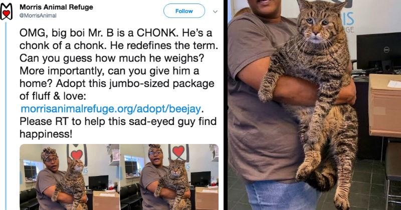 Animal shelter reveals a gigantic cat on twitter.