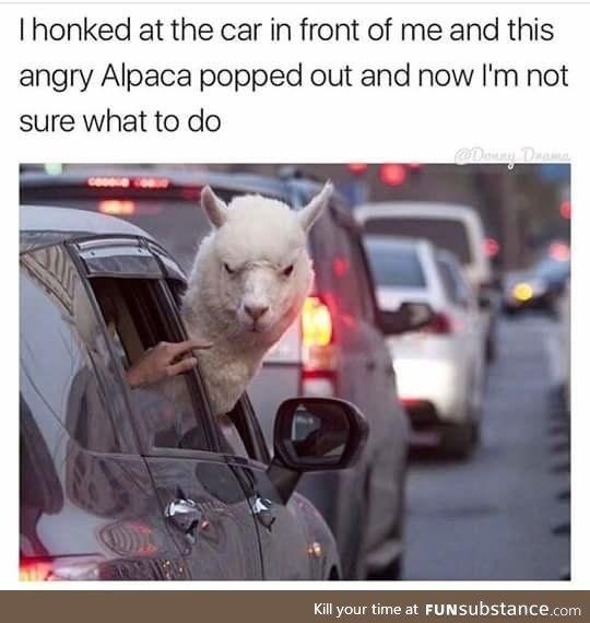 meme about angry alpaca sticking its head outside a car window