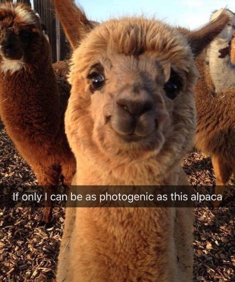 pic of a smiling happy alpaca