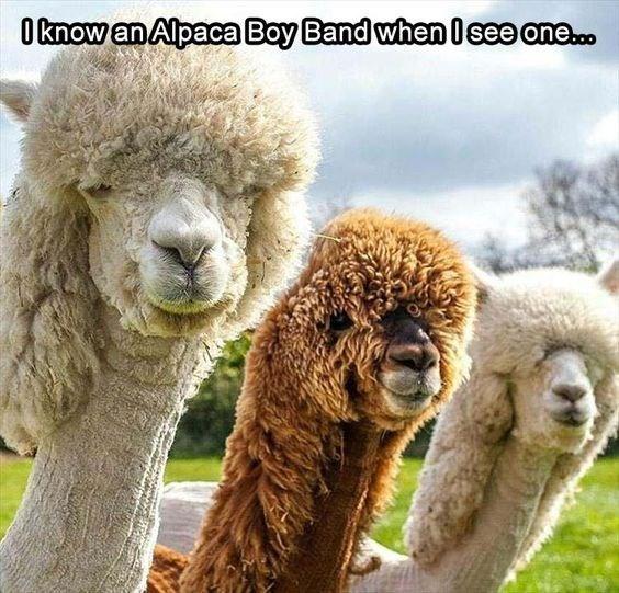 pic of three alpacas with the same haircut