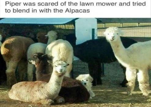 pic of a dog hiding among alpacas