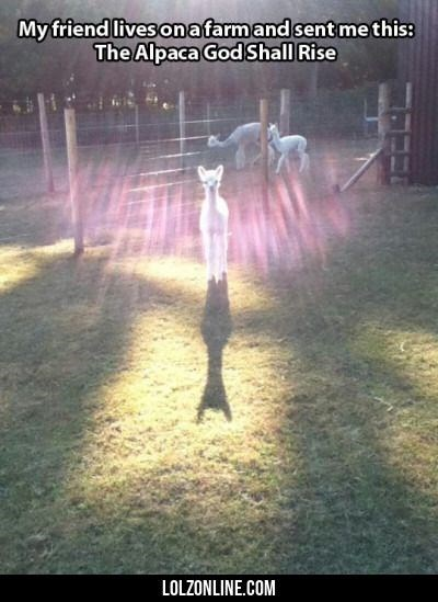 pic of an alpaca standing in the sunlight's glow