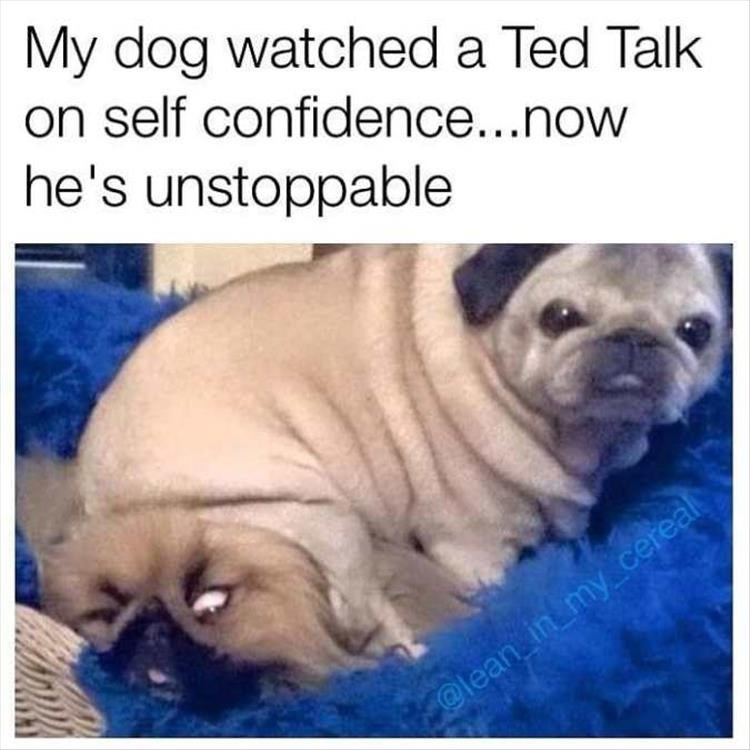 Pug - My dog watched a Ted Talk on self confidence...now he's unstoppable @lean in my cereal