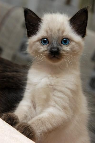 white kitten with blue eyes and brown ears perching against a pillow