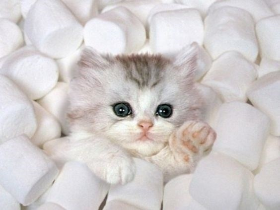 white kitten sitting in a bunch of marshmallows