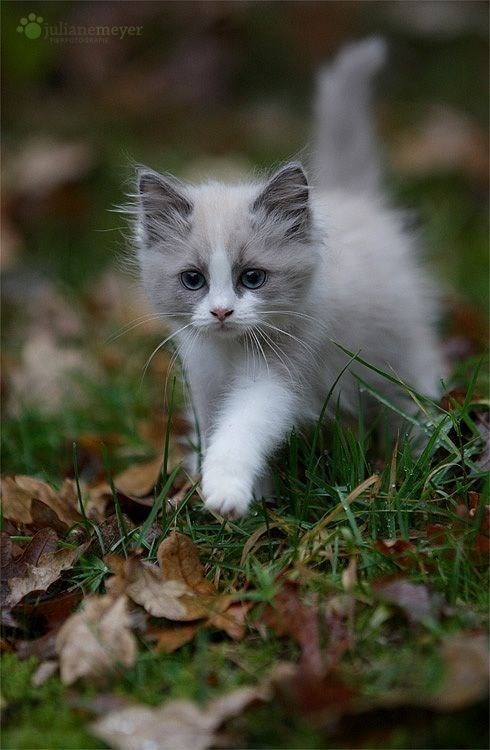 grey and white kitten walking over grass
