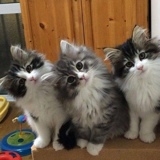 three grey and white kittens turning their heads in the same direction