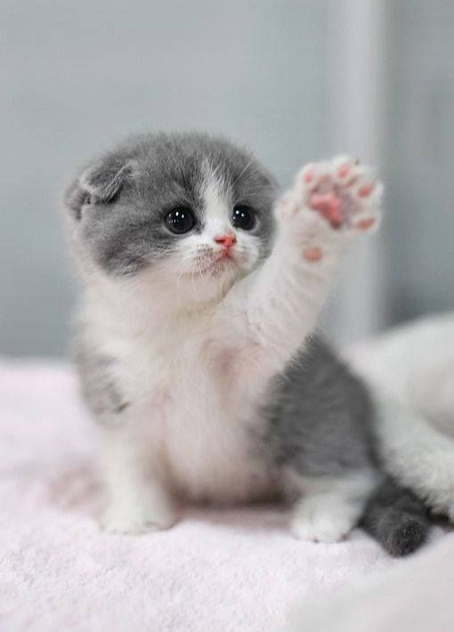 grey and white kitten putting out its paw towards the camera