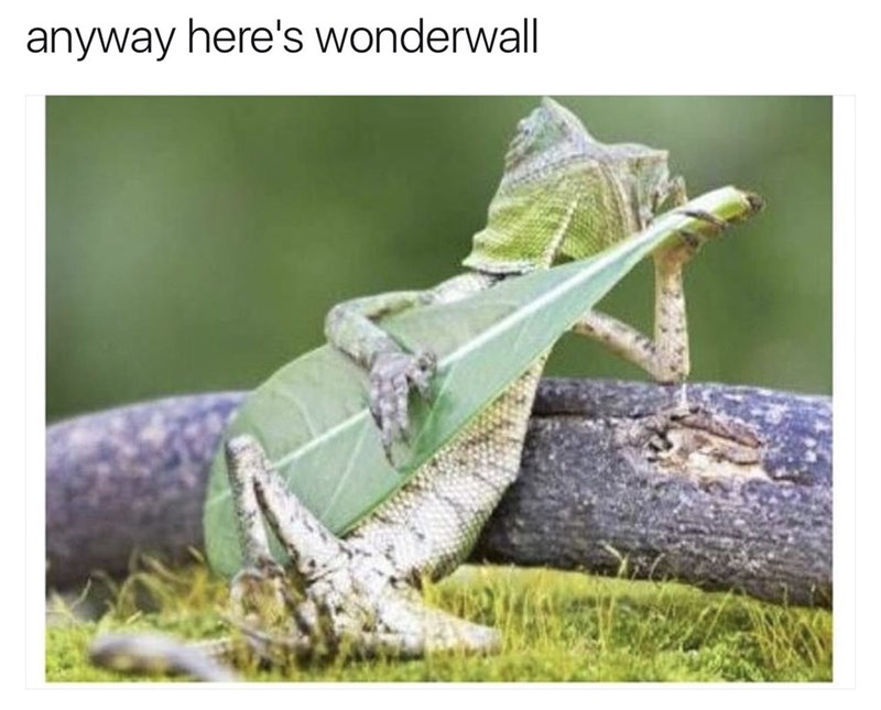 Funny meme about a lizard playing wonderwall by oasis.