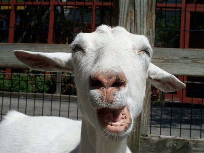 funny animal face - Goats
