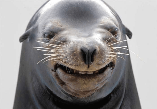 funny animal face - Seal