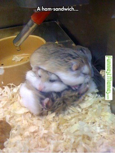 Hamster - A ham-sandwich... Funnieyt Memey.com
