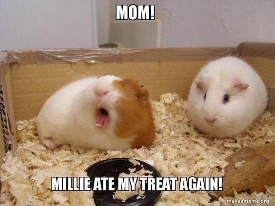 Guinea pig - MOM! MILLIE ATE MYTREAT AGAIN! makeameme.org