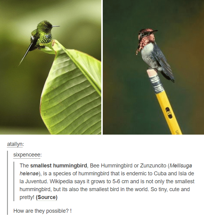 birb meme - Bird - atallyn: sixpenceee: The smallest hummingbird, Bee Hummingbird or Zunzuncito (Mellisuga helenae), is a species of hummingbird that is endemic to Cuba and Isla de la Juventud. Wikipedia says it grows to 5-6 cm and is not only the smallest hummingbird, but its also the smallest bird in the world. So tiny, cute and pretty! (Source) How are they possible?!