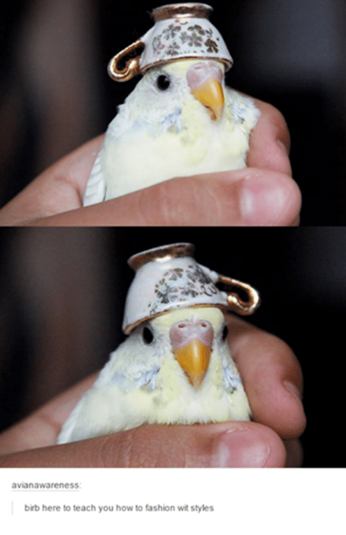 birb meme - Hand - avianawareness birb here to teach you how to fashion wit styles