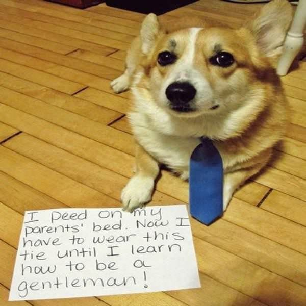 Dog - I peed On my parents' bed. No I have to wear +his tie until I learn how to be a gentleman!
