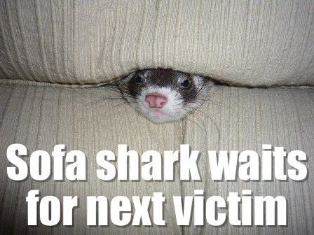 ferret-sofa-shark-waits-for-next-victim-