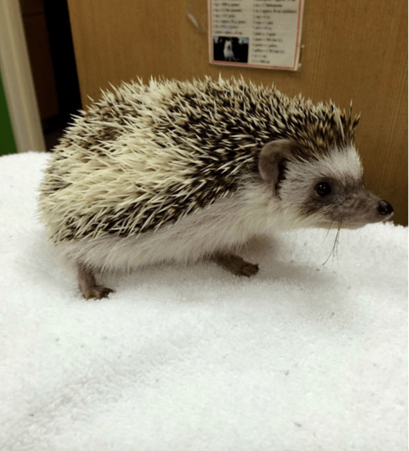 dentist hedgehog - Erinaceidae