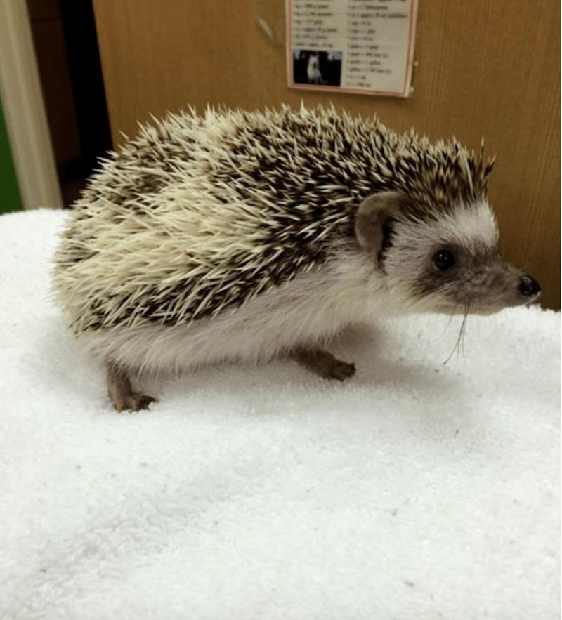 dentist hedgehog - Erinaceidae