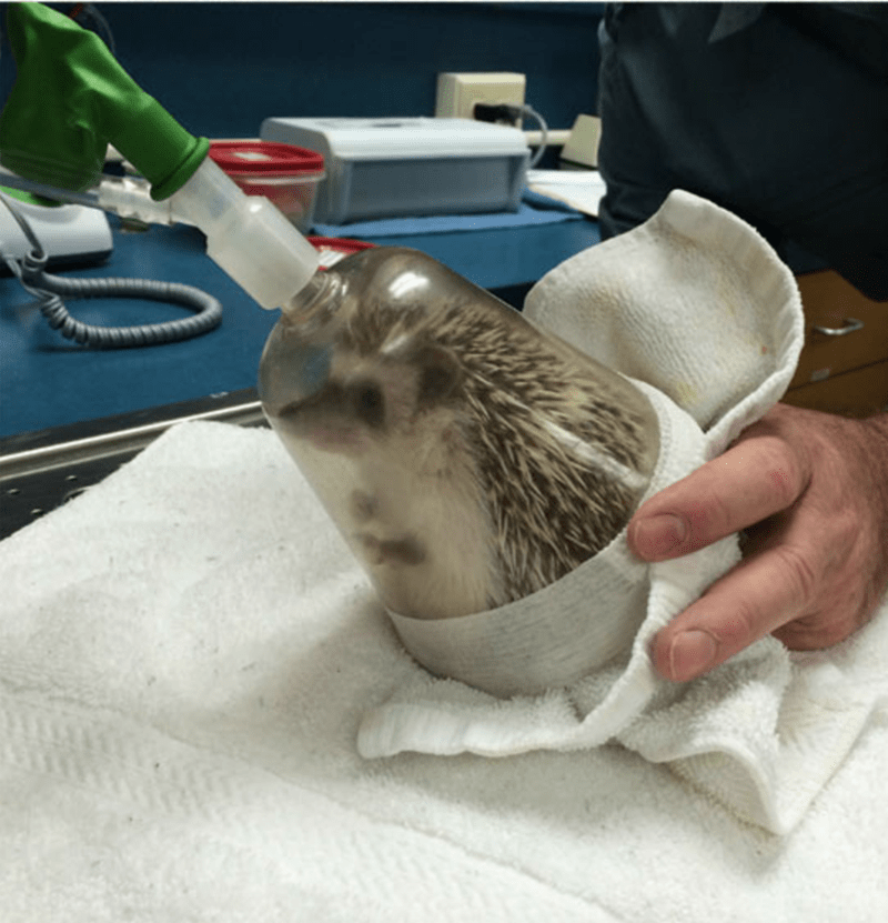 dentist hedgehog - Head