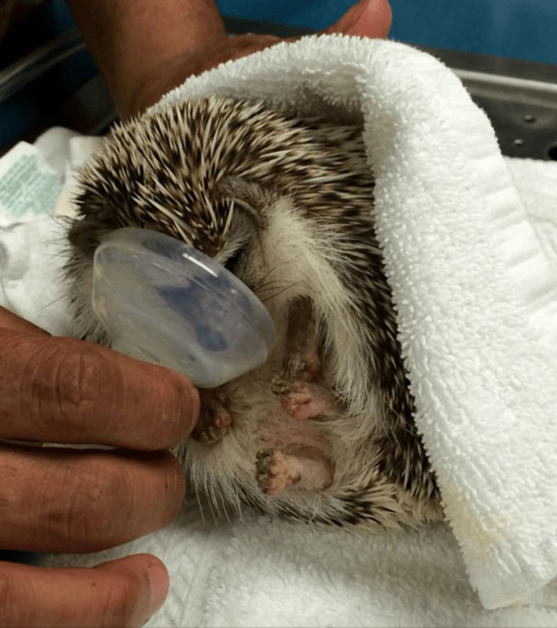 dentist hedgehog - Hedgehog