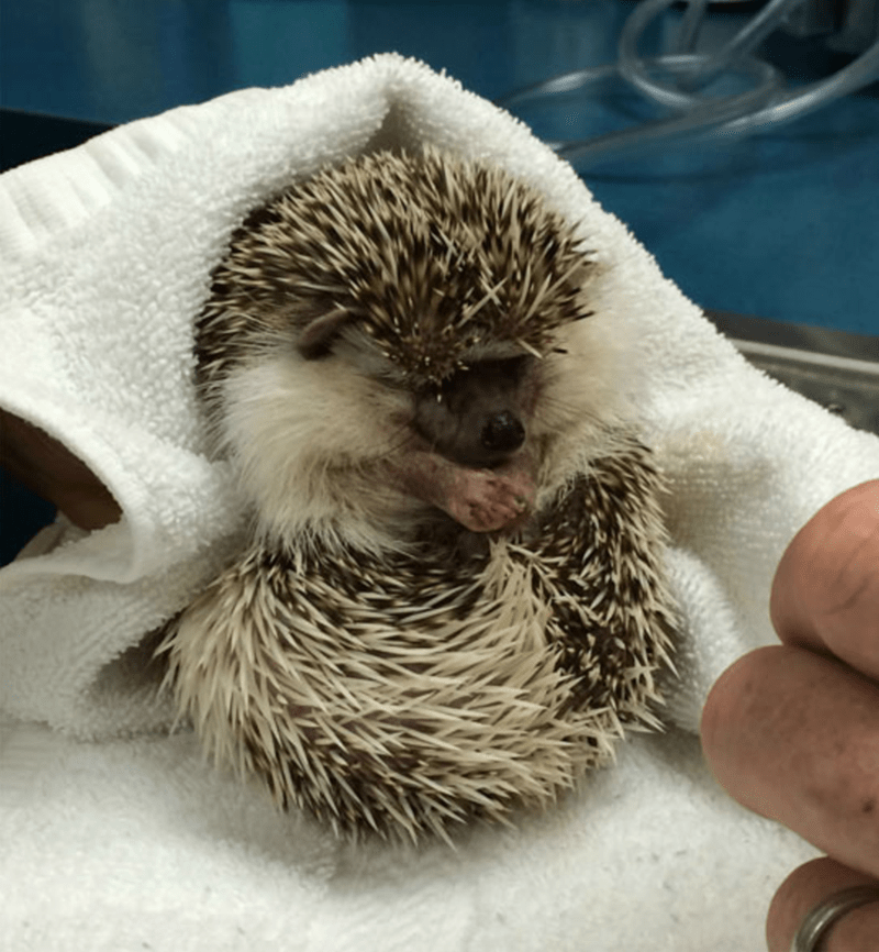 dentist hedgehog - Hedgehog