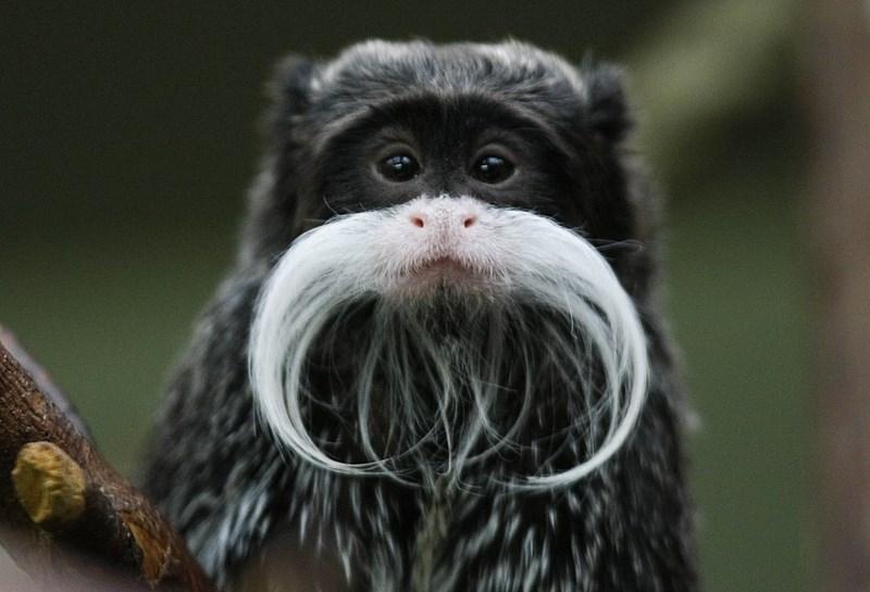 animals mustaches - New World monkey