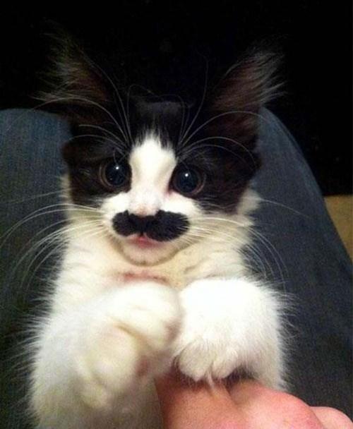 animals mustaches - Cat