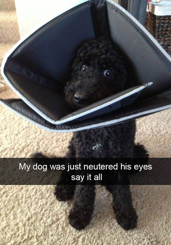 Canidae - My dog was just neutered his eyes say it all