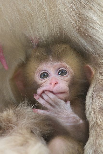 yellow furred baby monkey with its fingers in its mouth