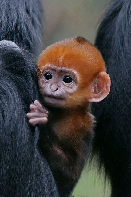 orange furred baby monkey peeking from behind something