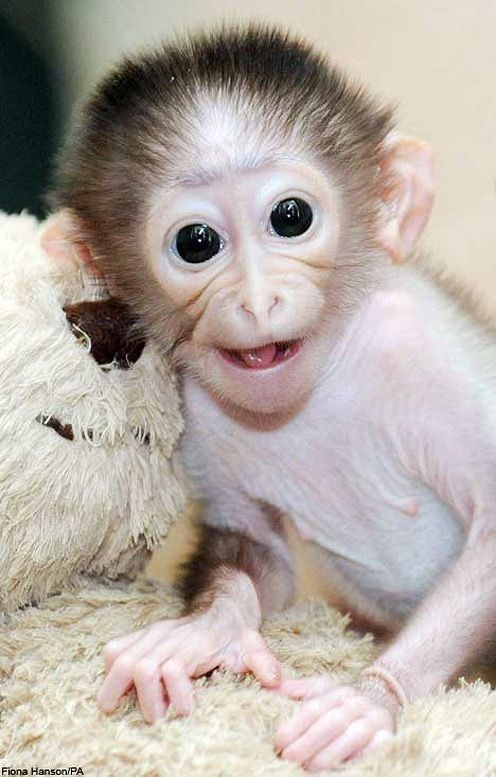cute baby monkey with large eyes looking with surprise at the camera