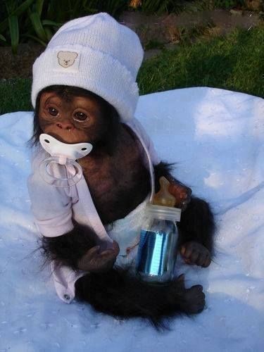 baby monkey dressed in human babies clothes with a pacifier in its mouth