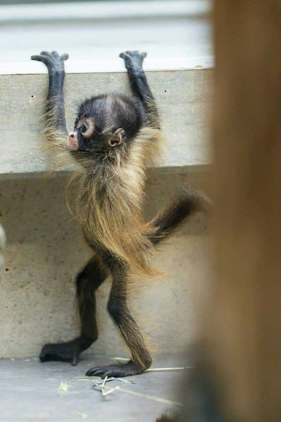 cute baby monkey with golden fur holding onto a stair