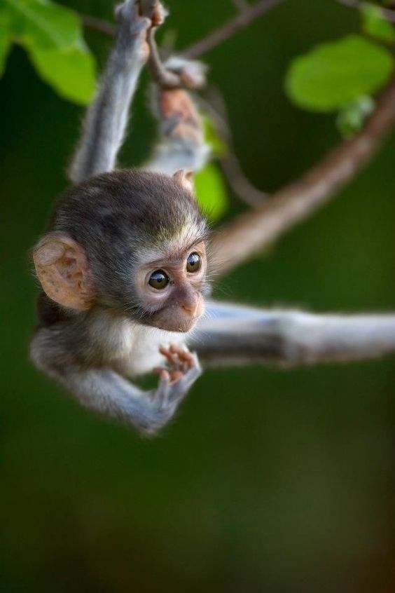 baby monkey with large eyes hanging from a tree branch