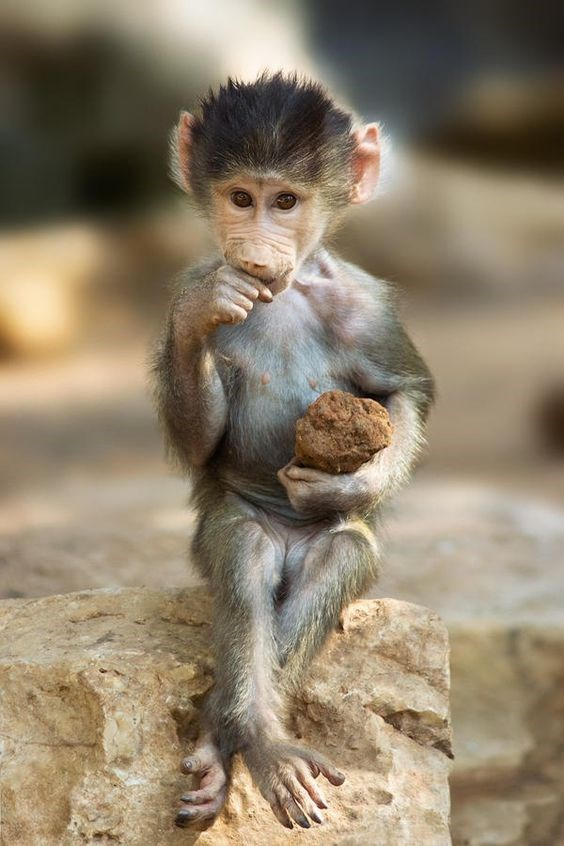 baby monkey sitting while holding a rock