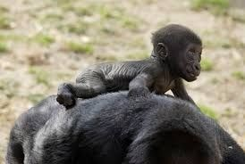cute baby monkey riding on the back of its mother