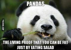 Panda - PANDAS THE LIVING PROOF THAT YOU CAN BE FAT JUST BY EATING SALAD VGAG OM