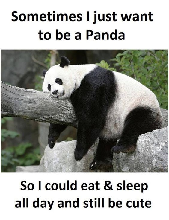 Panda - Sometimes I just want to be a Panda So I could eat & sleep all day and still be cute