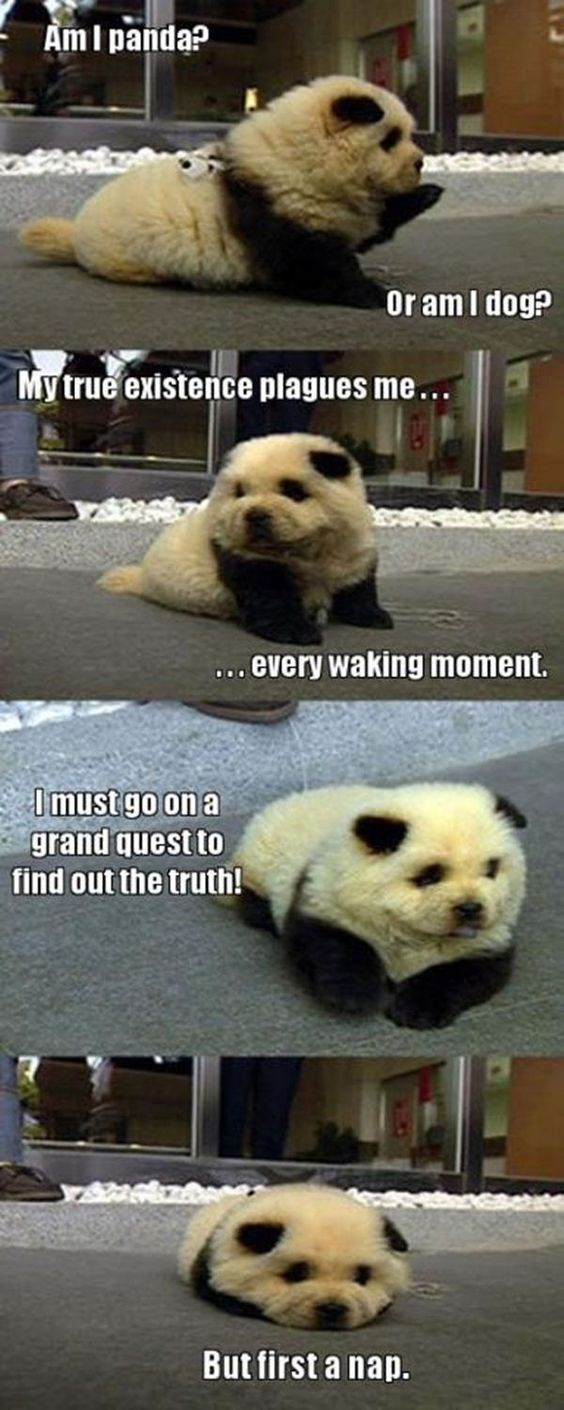 Panda - Am I panda? Or am I dog? My true existence plagues me... ..every waking moment. DO Imust go on a grand quest to find out the truth! But first a nap.