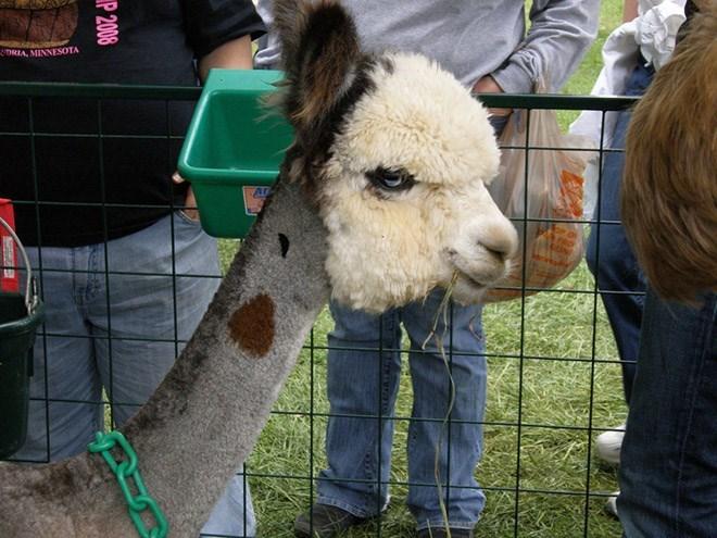 shaved alpaca - Mammal - DRIA, MINNESOTA PRO IN P 2008