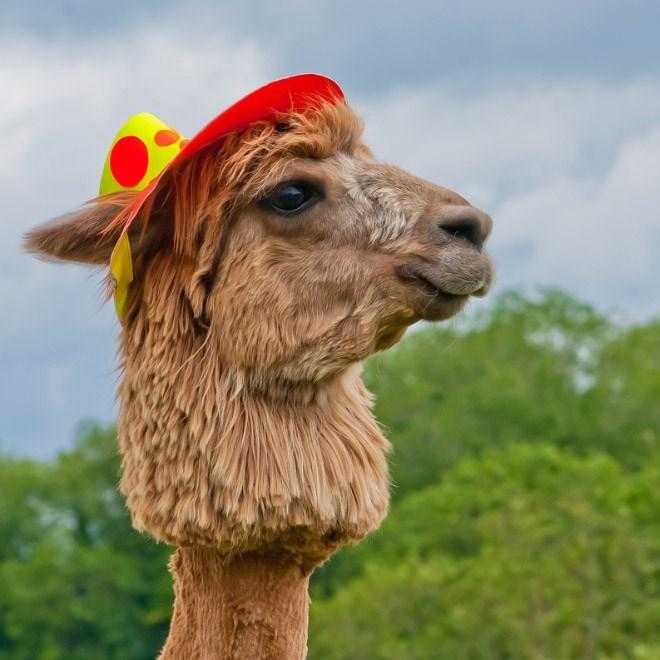 shaved alpaca - Camel