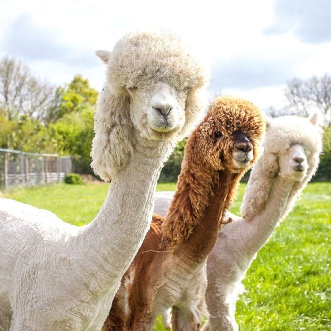 shaved alpaca - Vertebrate