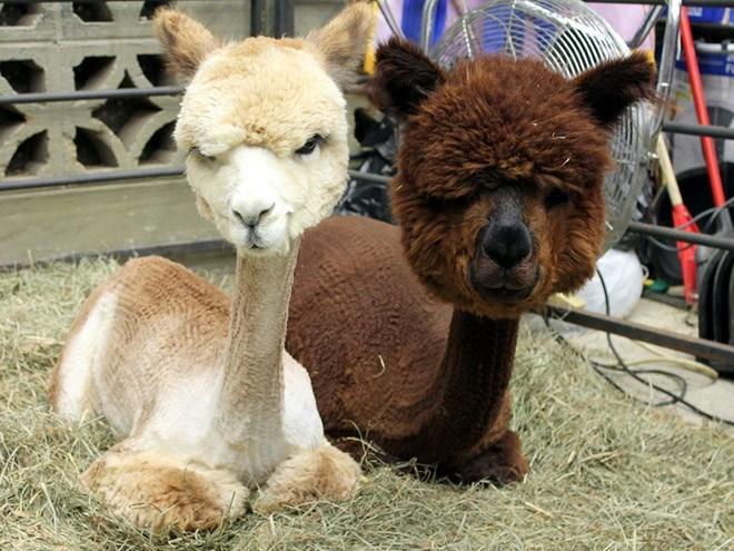 shaved alpaca - Mammal