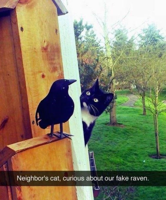 snapchat - Bird - Neighbor's cat, curious about our fake raven.