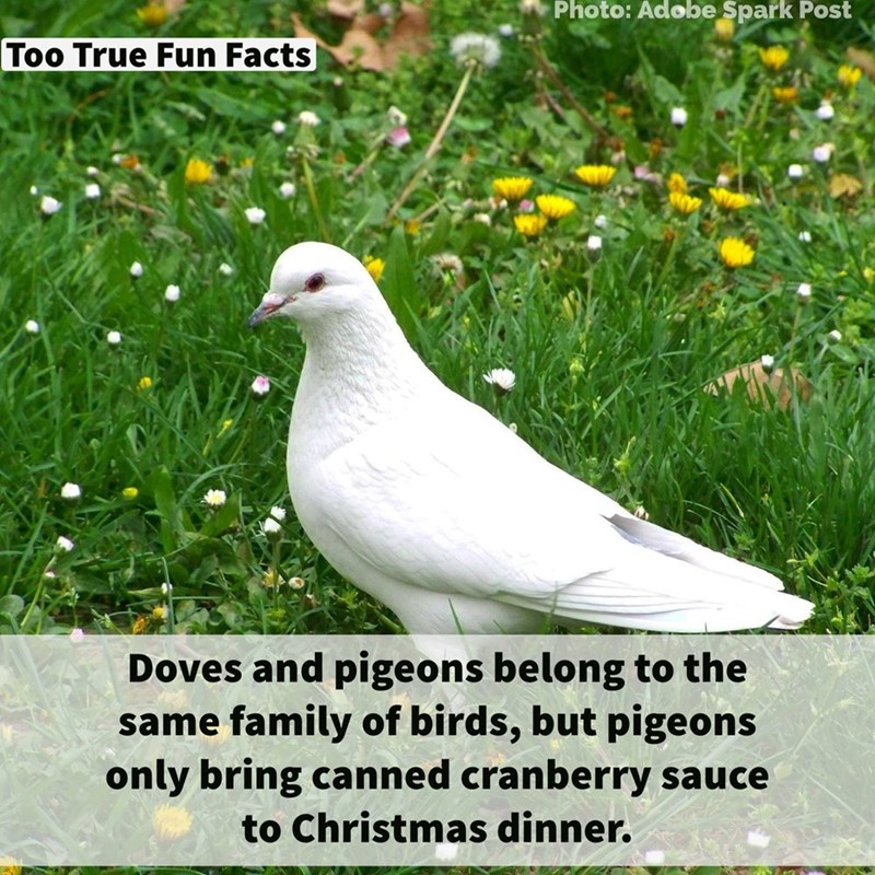 Bird - Photo: Adobe Spark Post Too True Fun Facts Doves and pigeons belong to the same family of birds, but pigeons only bring canned cranberry sauce to Christmas dinner.