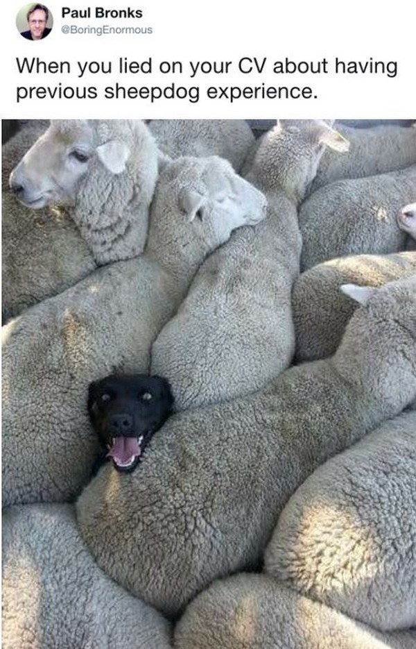 dog tweet - Canidae - Paul Bronks @BoringEnormous When you lied on your CV about having previous sheepdog experience.