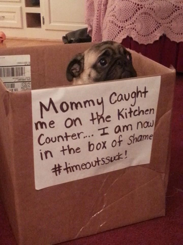 Pug - ONODS Mommy Caught me on the Kitchen Counter... I am nau in the box of Shame #himeoutssuck! e a a