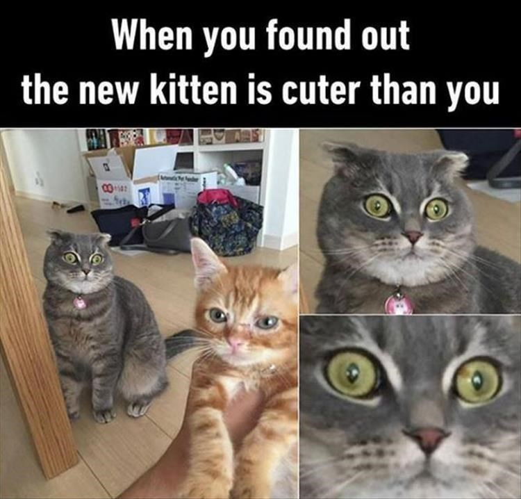 caturday meme about jealousy with pic of a cat looking shocked at a kitten