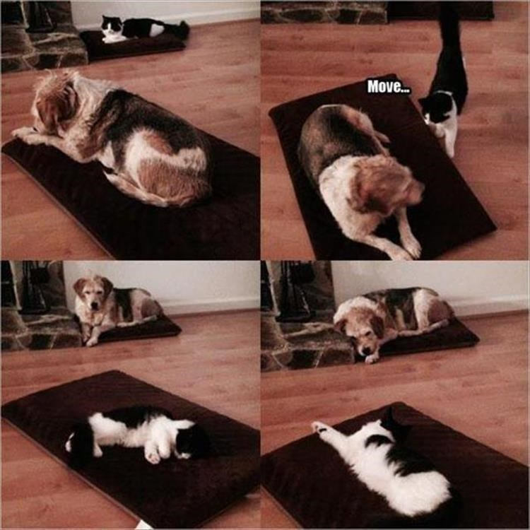 caturday meme with series of pics depicting a cat taking over a dog's bed